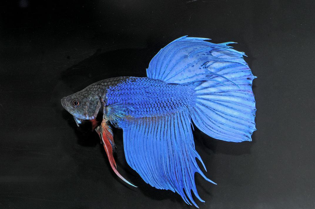 Male Betta Related Keywords & Suggestions - Male Betta Long Tail ...