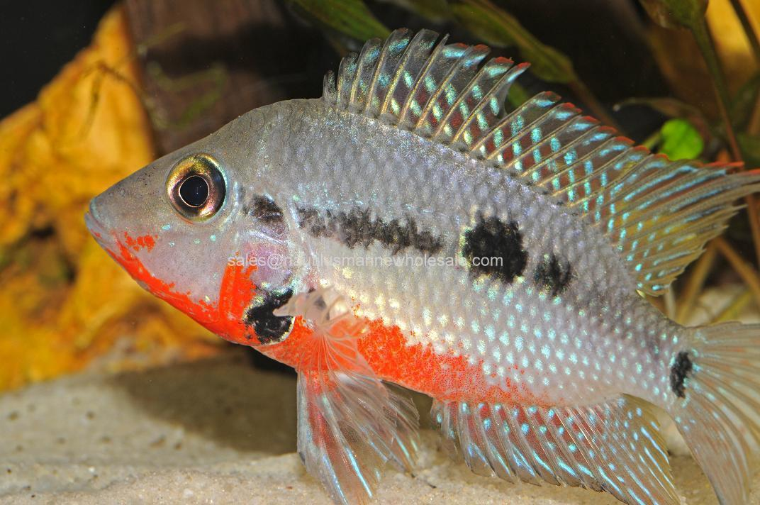 Firemouth : CICHLID: FIREMOUTH SCIENTIFIC NAME: THORICHTHYS MEEKI FLORIDA BRED ...