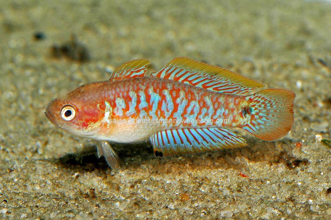 Peacock Gudgeon Goby Misc: goby peacock gudgeon