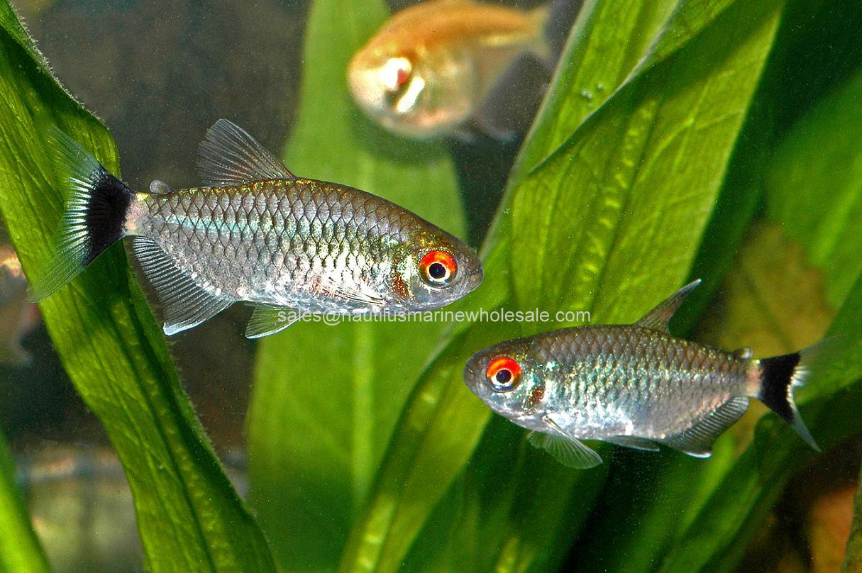 TETRA: RED EYE SCIENTIFIC NAME: MOENKHAUSIA OLIGOLEPIS NAUTILUS ...