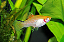 PLATY: GOLD TWIN BAR