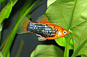 PLATY: PAINTED