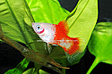 PLATY: CANDY CANE
