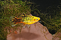 PLATY: YELLOW CALICO