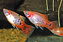 PLATY: REDTAIL CRYSTAL