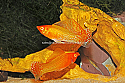MOLLY: GOLD SAILFIN LG