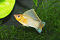 MOLLY: GREEN SAILFIN LG