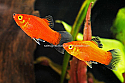 PLATY: RED WAG